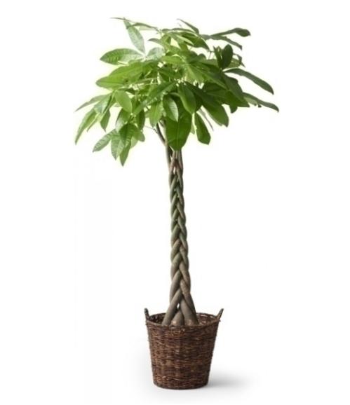 palm växter inomhus