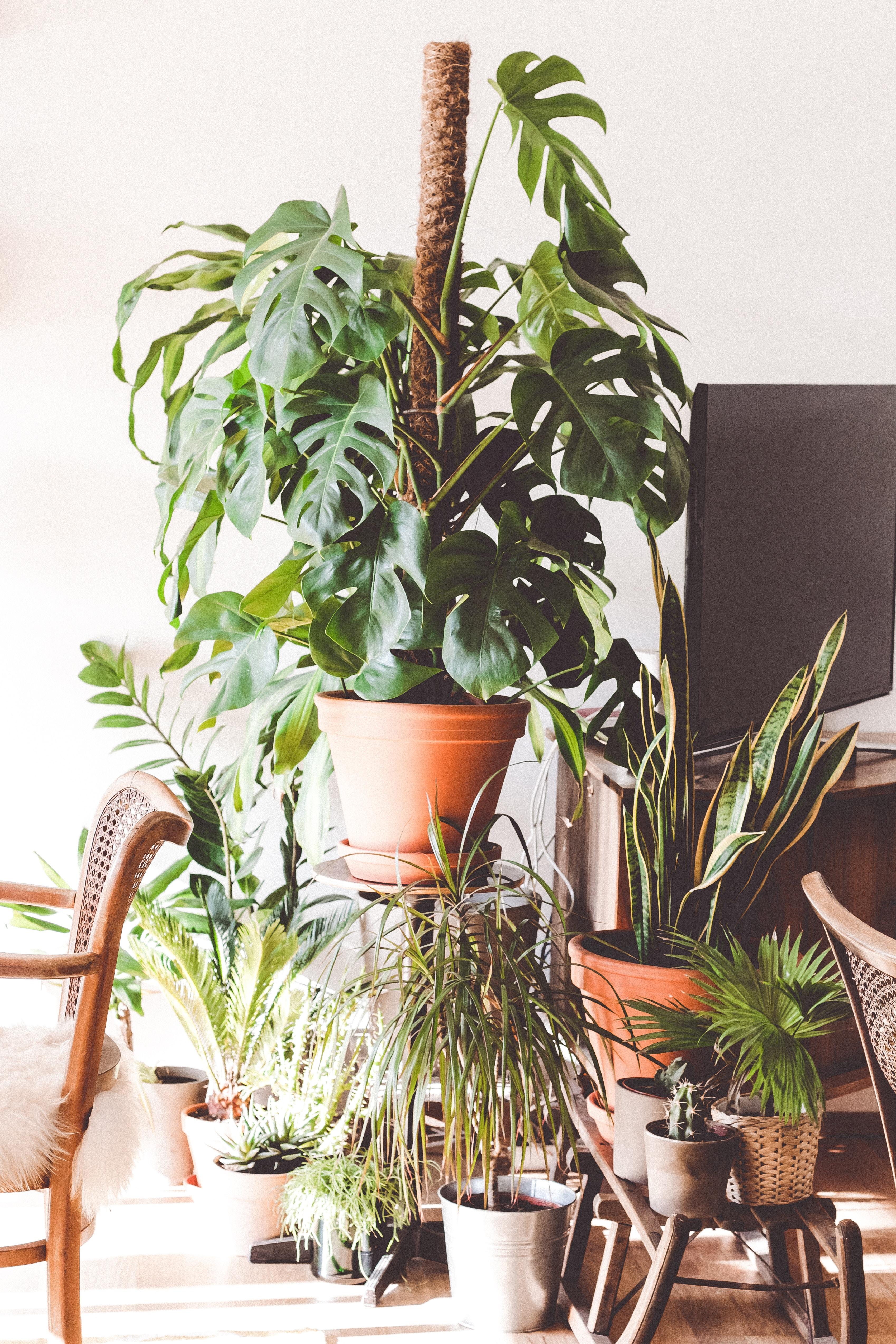 Billiga stora växter