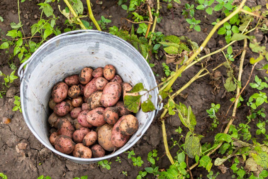 Potatis i hink