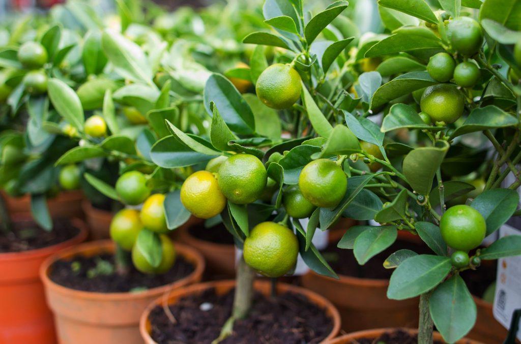 Övervintra citronträd