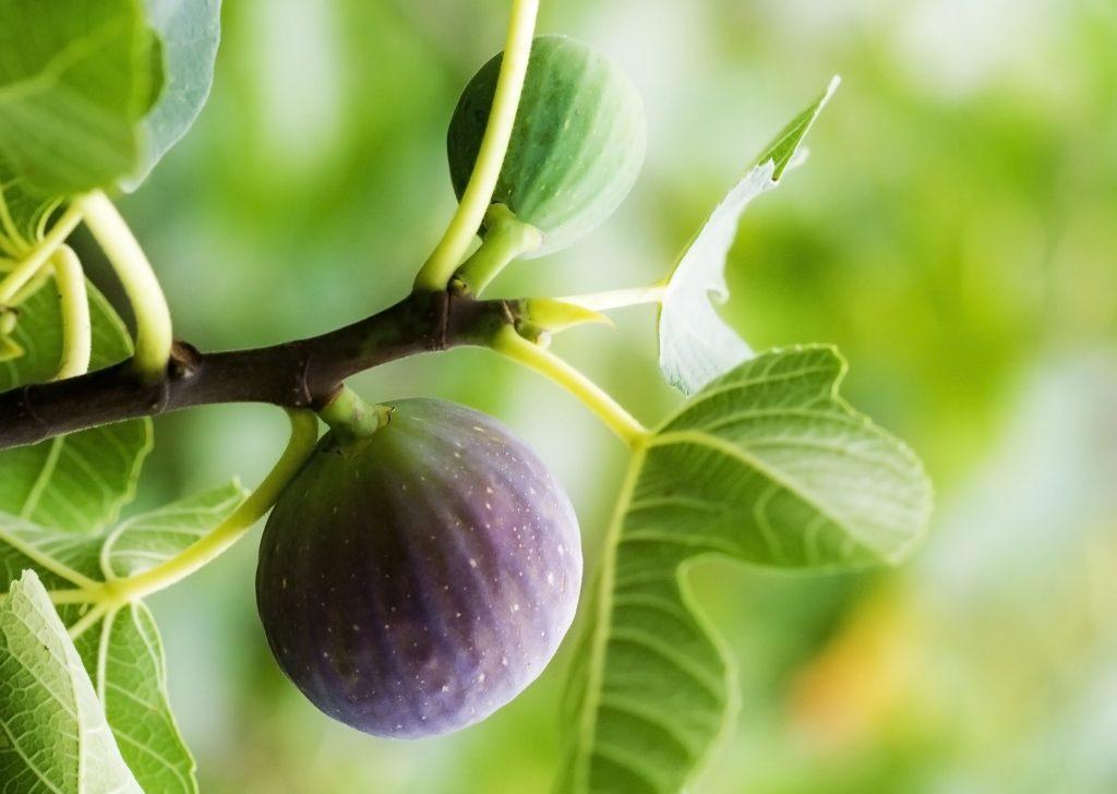 Övervintra fikonträd