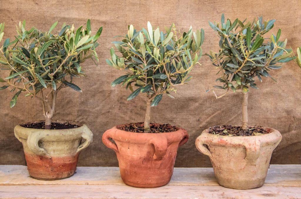 Övervintra olivträd